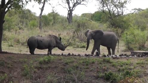 大象VS犀牛,究竟谁才是陆地最强生物?大象:你还能比我长!