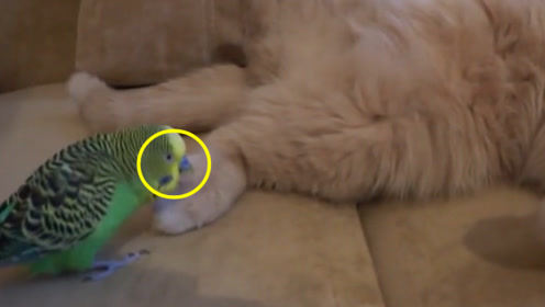 加菲猫想要睡一觉,淘气的鹦鹉来回捣乱,猫咪:我太难了