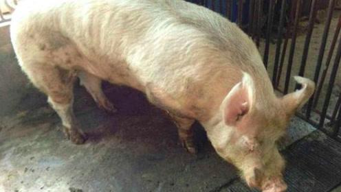 """养猪场里的老种猪,一旦被淘汰后,最终都去哪里了?真相令人""""心疼"""""""