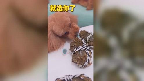 主人买了大闸蟹回家,泰迪超感兴趣把它当玩具,真是个女汉子