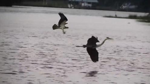 """大灰鹤被老鹰""""追杀"""":""""是时候展示真正的飞行技术了"""""""