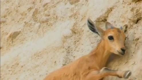 羱羊是野生动物界的攀岩大师,垂直的悬崖都行走自如,太不可思议了!