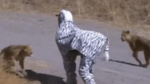 国外男子假扮斑马,不料刚好撞见狮子狩猎,网友:来得急跑吗?
