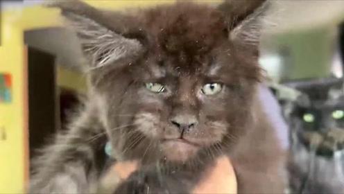 """你看我长得像谁?俄罗斯专家培育出""""人脸猫"""" 眼神凌厉神似人类"""