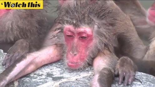 极度舒适!日本北海道猴子冬季泡温泉 昏昏欲睡神似澡堂大爷