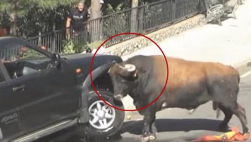 公牛发狂横行市区8小时 瞬间顶翻行人摩托
