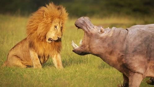 狮子最大的天敌,看起来十分可爱,却吓得狮子落荒而逃