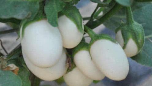 """农村这种""""鸡蛋""""长在树上,它能吃吗?看完让人大开眼界!"""