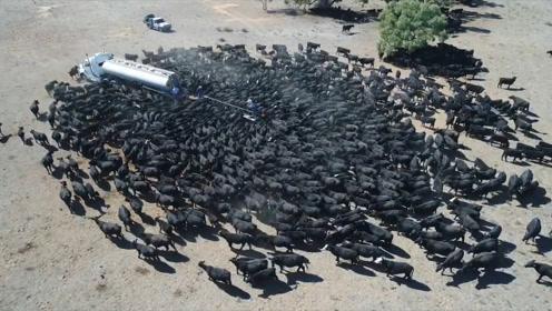 罕见!上千头牛包围一辆车,到底车里有什么?看完整个人都不好了