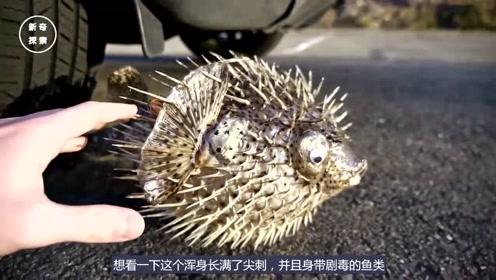 小伙用汽车碾压豪猪鱼,接下来会发生什么情况?镜头记录整个过程