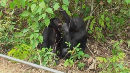 人类近亲倭黑猩猩,不仅行为像人类,就连性生活也跟人类相似
