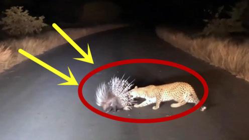 """猎豹面对""""肥美""""的豪猪,完全无从下口,路人拍下有趣一幕"""