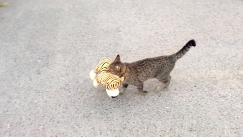 猫咪不知从哪叼来一只老虎,大摇大摆的回家,主人一看哭笑不得