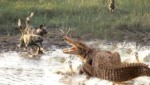 饿了10天的野狗,碰上正在晒太阳的鳄鱼,会发生些什么?