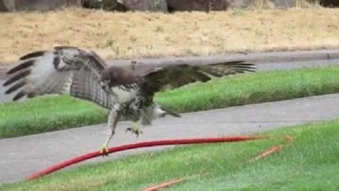 老鹰把水管当成一条蛇,从天而降将其擒住,下一秒憋住不要笑