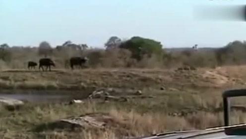 见识一下母狮的狩猎能力,牛群都没反应过来,谁说母狮狩猎能力差