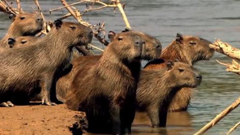 """动物界的""""中央空调"""",只要它出现,动物都会围着它转!"""