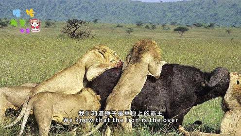 野牛群硬刚狮群,草原之王碰上硬茬了!