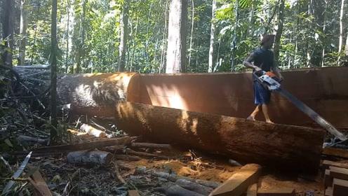 这么大一棵铁树就这样被他给锯了,真是可惜