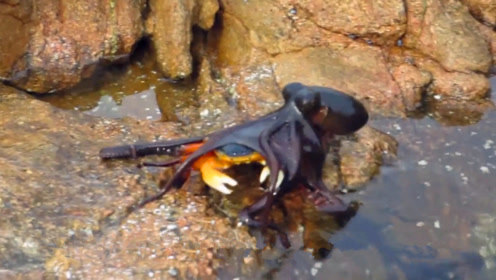 你见过爬上岸捕食的鱼吗?小伙河边钓鱼,正好拍下这一瞬间!