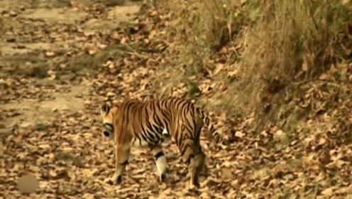 印度动物园老虎出逃,行走了1160公里才被发现,打破世界纪录