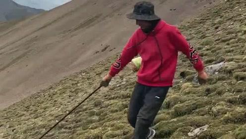 海拔5000米以上红景天,很多天没洗脸没换衣服,但依然很开心的生活着!