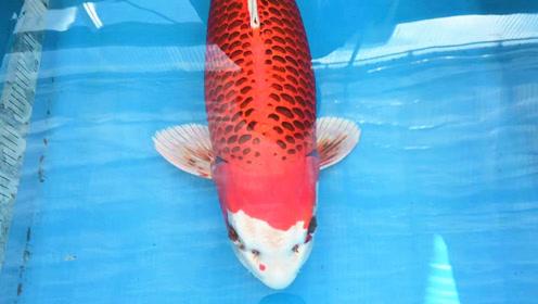 4条难得一见的日本大锦鲤,看到第一条,我就开始心动了!