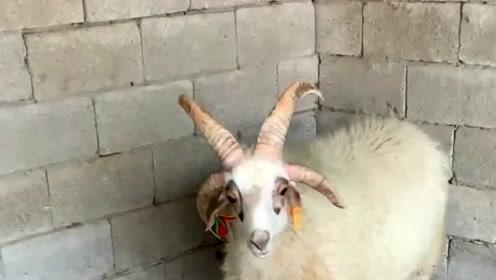 两只腿的蛤蟆你见过,四只角的绵羊你见过吗?网友:还真没见过!