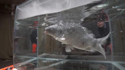 老外把鱼放进液氮中,随后把冻僵的鱼放回水中,没想到它这么顽强