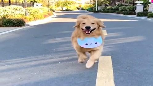 金毛狗狗和主人的日常,看它欢快的小步伐真是太可爱了,萌萌哒!