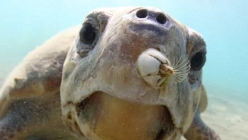 海龟主动靠近游船,只因被这种生物折磨得受不了,这生物太可怕了