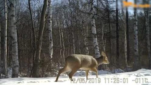 珍贵影像!东北虎豹国家公园首次拍摄到獐,雪地行走2次险摔倒