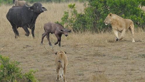 野牛觉得打不过成年狮子,干脆找准机会,向小狮子下手