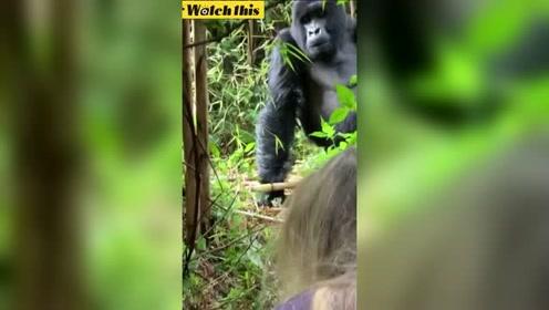 女子路遇野生银背大猩猩吓到不敢直视 大猩猩的反应亮了