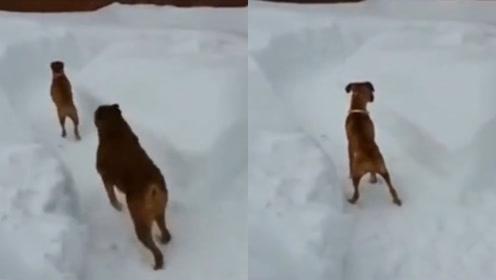 好一条心机狗!大狗追小狗途中耍套路,小狗智商被无情碾压