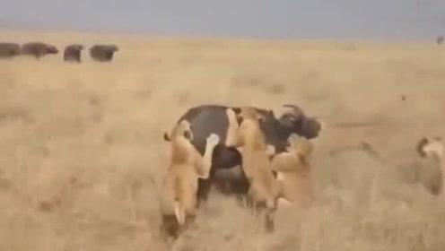 水牛惨遭狮群撕咬,正绝望时牛群出现了,奈何这些家伙只是来送它最后一程的