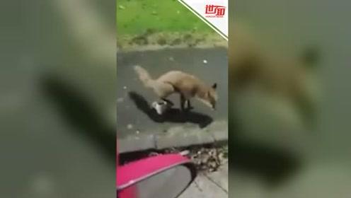 小狐狸想喝啤酒被男子赶走 下一个动作令人哭笑不得