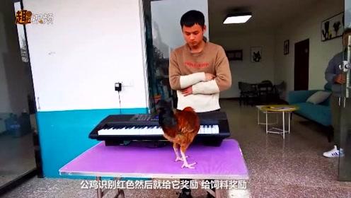 大公鸡竟会弹钢琴《童话》《两只老虎》等 老乡来揭秘了…