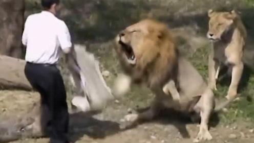 男子不慎掉入狮子园,接下来男子的做法,堪称教科书级别