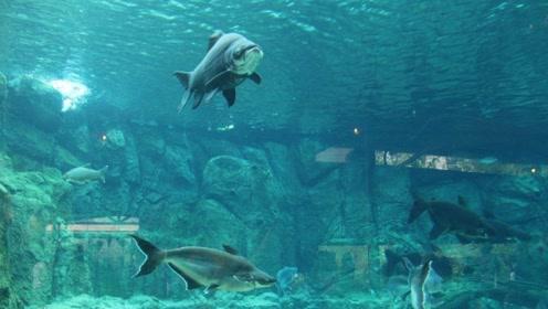 巨型鲤鱼因极少吃活物而被作为观赏鱼,极受追捧