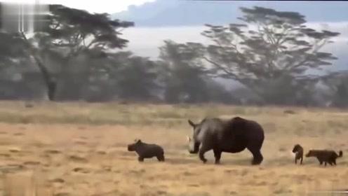 非洲二哥胆子大不是空穴来风,两只狗就去围攻犀牛母子