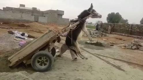 这卸货的方法,常常让驴毫无防备,驴:下次再这样,老子不干了!