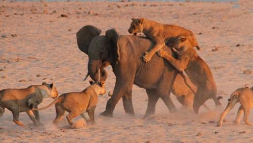 11只狮子围攻小象,小象却还敢发起反冲锋,最后竟成功逃脱!