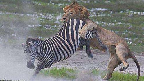 幼狮练习捕猎,小斑马最终成为了目标,场面太激烈!