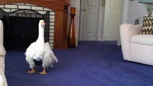 大鹅在家里看电视,却遭到了主人换台,下一秒可就要爆炸了