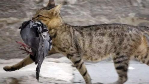 澳大利亚最残暴的动物:见什么杀什么,政府只好下令捕杀