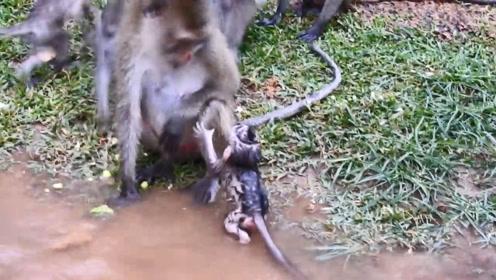 小猴子认错妈妈,被抓起扔在水里,妈妈出现后的画面让人感动
