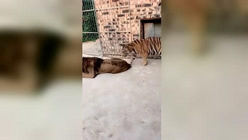 狮子:老虎你别跑,看我怎么把你按在地上摩擦!这次知道谁厉害了