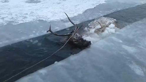 一只鹿不幸掉入河中被冻僵了,下一秒的画面让人感动,镜头记录有爱瞬间!