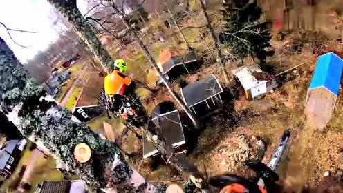 国外伐木工真是艺高人胆大,几十米高的树扛着油锯就开工,太牛了